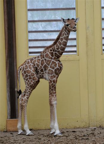 Girafje-blijdorp4 (Small)