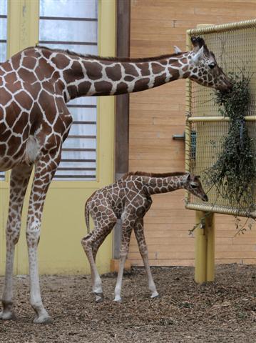 Girafje-blijdorp001 (Small)