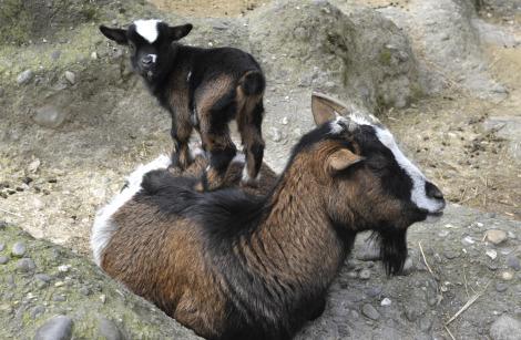 Pygmy goats zoo basel