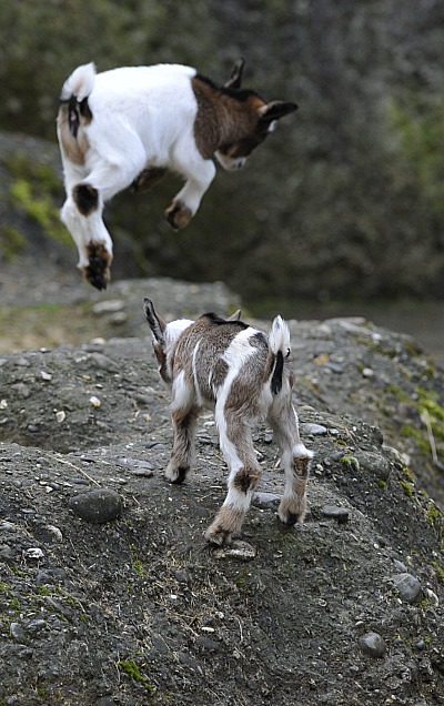 Pygmy goats zoo basel 7