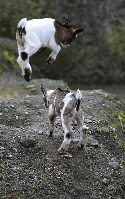 Playful Pygmy Goats - ZooBorns