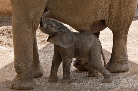 BabyElephant_02_Web