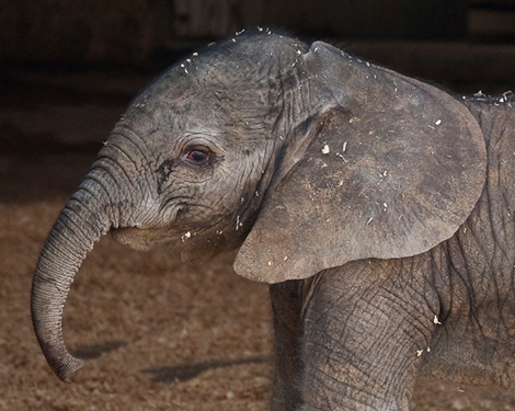 BabyElephant_01_Web