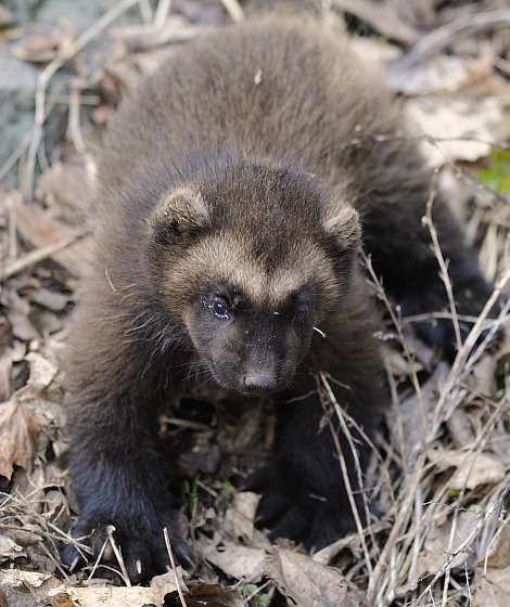 Wolverine skansen zoo 1