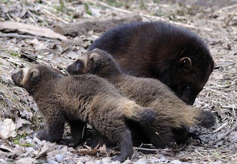 Baby wolverines skansen zoo 2
