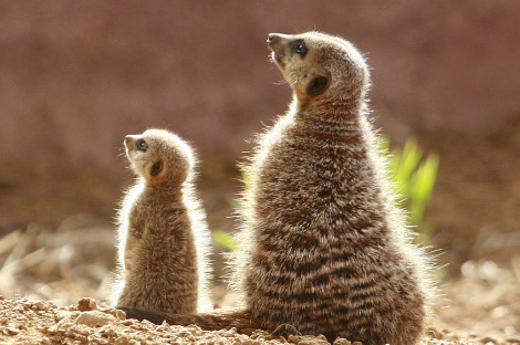 Baby meerkat and mom enjoy the sun chester zoo 1