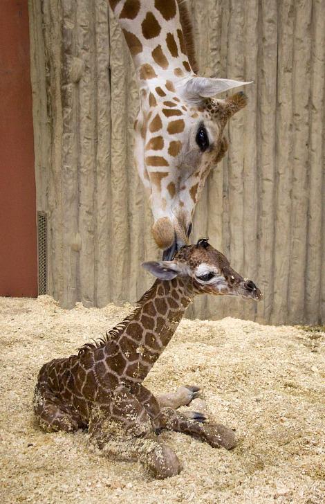 Baby giraffe calf denver zoo 1