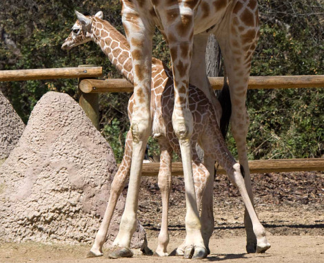 Baby giraffe calf denver zoo 4