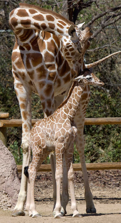 Baby giraffe calf denver zoo 3 rs1