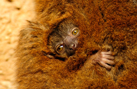 _julie-larsen-maher-0721-collared-lemur-and-baby-4-7-10