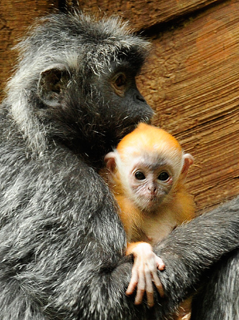 _julie-larsen-maher-8155a-silver-leaf-langur-and-baby-3-17-10