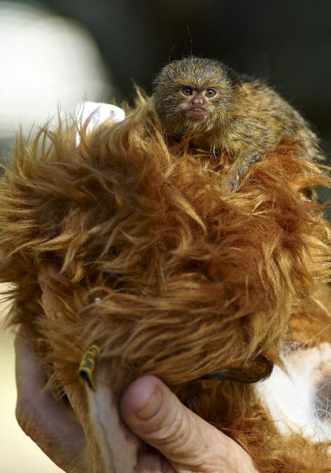 Baby marmoset mogo zoo 1 rs1