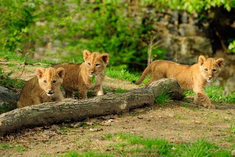 _julie-larsen-maher-4072-lion-cubs-4-21-10[1]