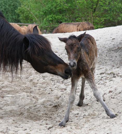Mongolian horse foal 3