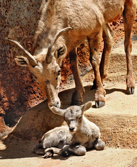 Big-Horn-Sheep-Mom-&-Baby-4-26-10_Tad-Motoyama-7474