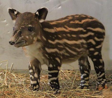 Baby bairds tapir calf nashville zoo 4
