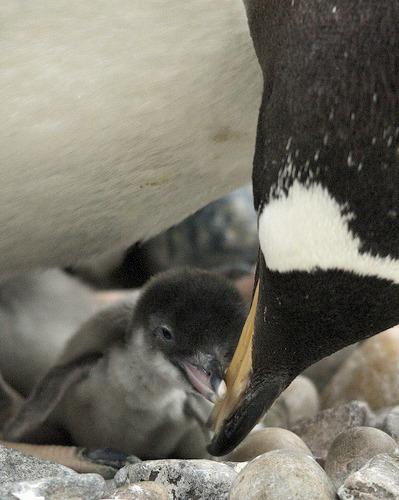 Baby gentoo penguin chick
