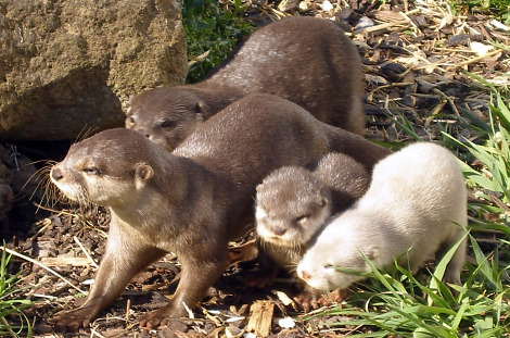White otter cubs Blue Planet Aquarium 3 rs