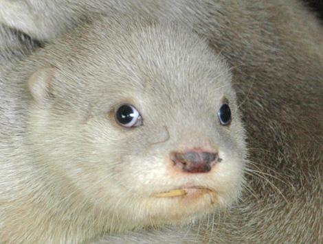Blue-Planet-Aquarium-white-otter-cubsb
