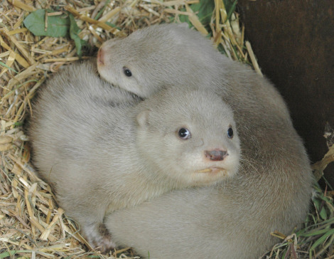 White otter cubs Blue Planet Aquarium 1 rs