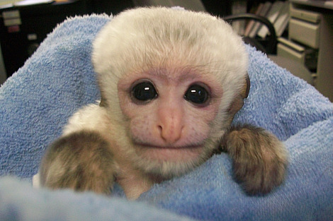 Baby colobus monkey mesker park zoo 1 rs