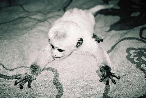 Baby colobus monkey mesker park zoo 2 rs