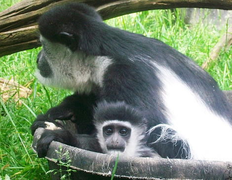 Baby colobus monkey mesker park zoo 5