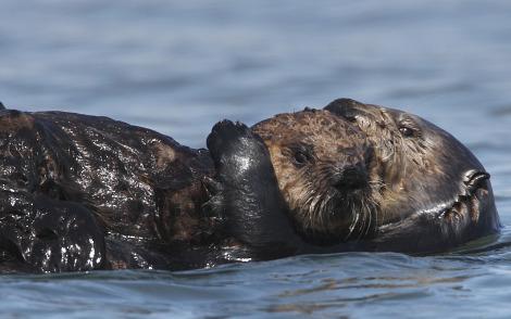 Sea otter pup and mom monterey bay aquarium 1 rs