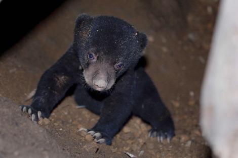 Baby sun bear singapore zoo 3 rs
