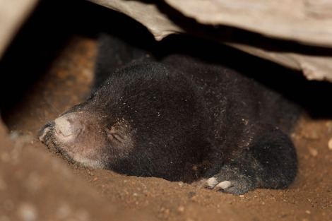 Baby sun bear singapore zoo 2 rs