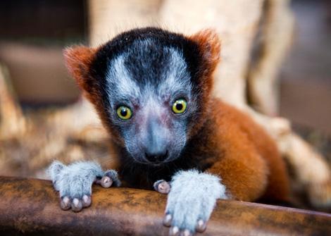 Lemur_02