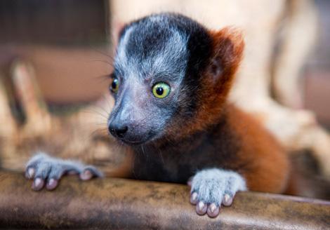 Lemur_03