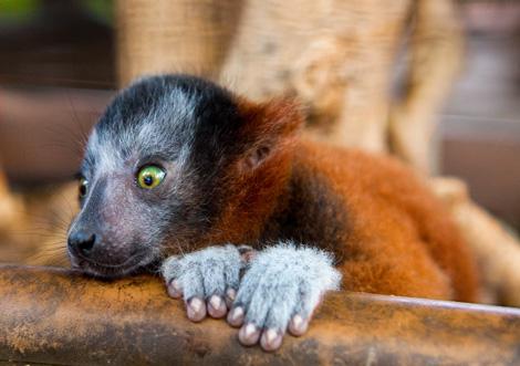 Lemur_04
