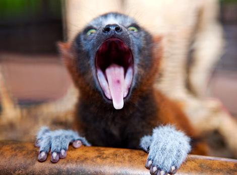 Lemur_05