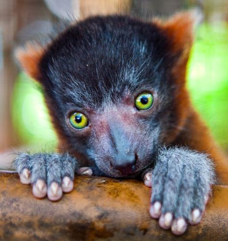 Lemur_01a
