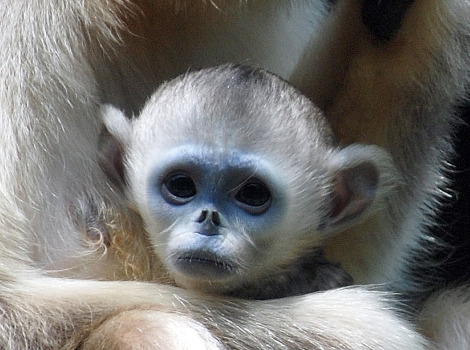 Baby golden snub nosed monkey everland zoo 2a