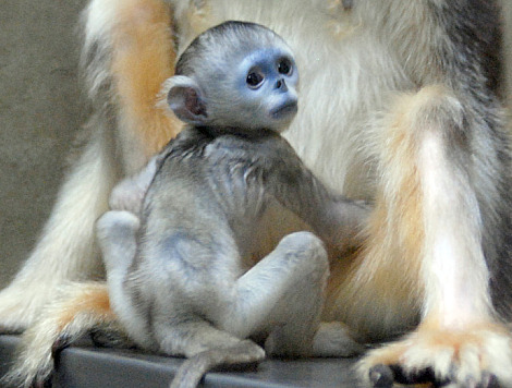 Baby golden snub nosed monkey everland zoo 1c