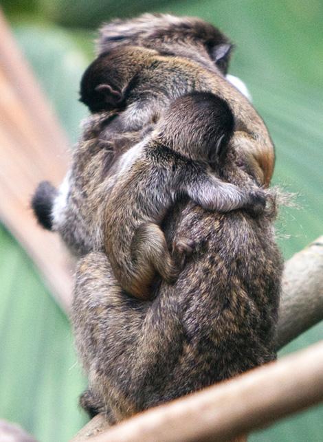 Braided-monkeys