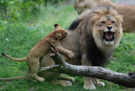 Lion cub bites dad bronx zoo 1