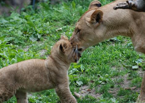 Lion cub and mom bronx zoo 1b