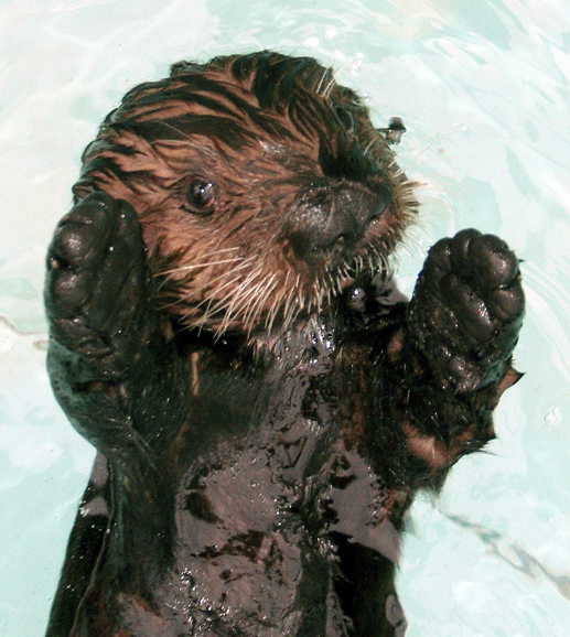 Maggie the otter furball baby aquarium of the pacific