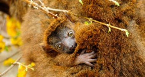 Baby collared lemur baby 2