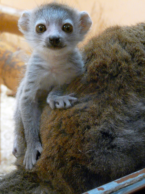 Cute Baby Lemurs Images amp Pictures Becuo