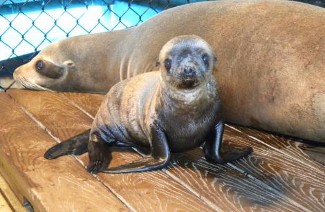Baby seal lion pup oceans of fun 2b