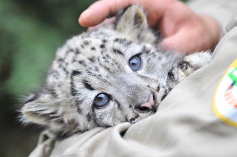 Baby white leopard - photo#21