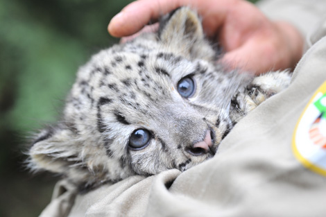 Belgium Welcomes First Baby Snow Leopard