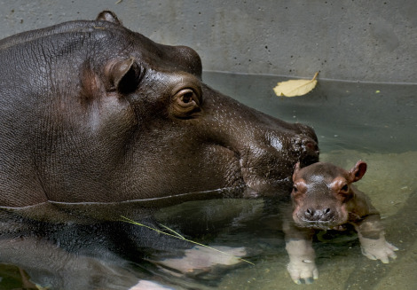 Baby hippo calf antwerp zoo 2