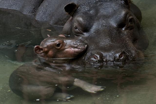 Baby hippo calf antwerp zoo 6