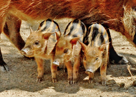 Red river hogs la zoo 2