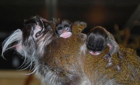 Baby tamarin san francisco zoo 2